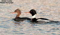 Male and Female Red-Breasted Merganser
