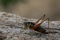 Female Roesel's Bush Cricket (Metrioptera roeselli)